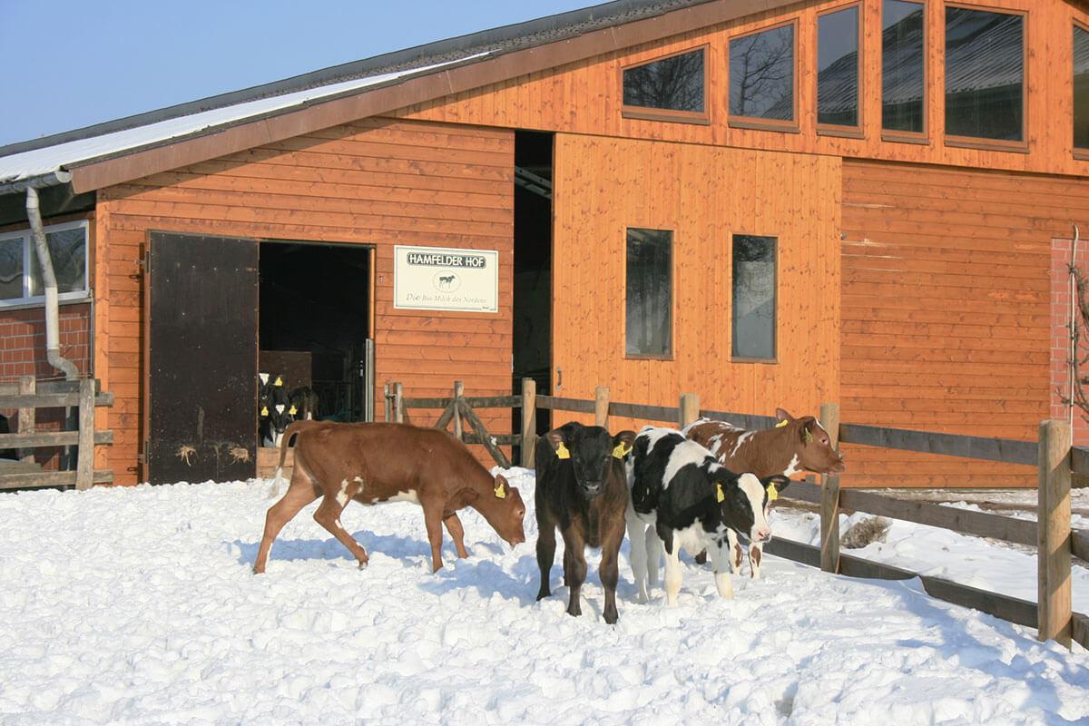 Bei gutem Wetter kommen die Kälber auch im Winter kurzzeitig raus