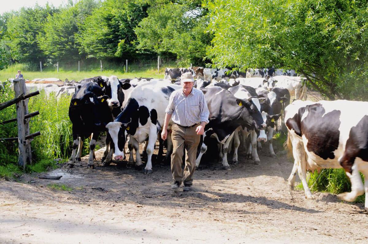 Möller senior holt die Kühe