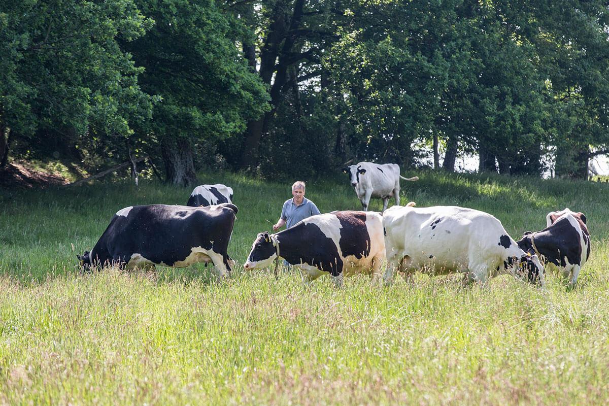 Kühe auf der Sommerweide