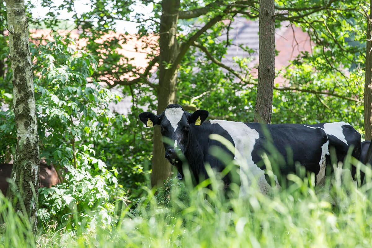 Kuh zwischen dem hohen Gras