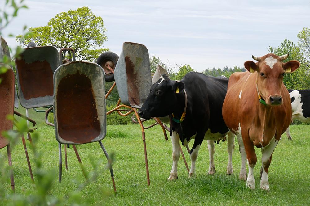Neugierige Kühe inspizieren die Schiebkarren